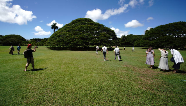 Hitachi Tree at Moanalua Gardens. Scores of visitors from Japan pose with the Hitachi tree located at Moanalua Gardens.