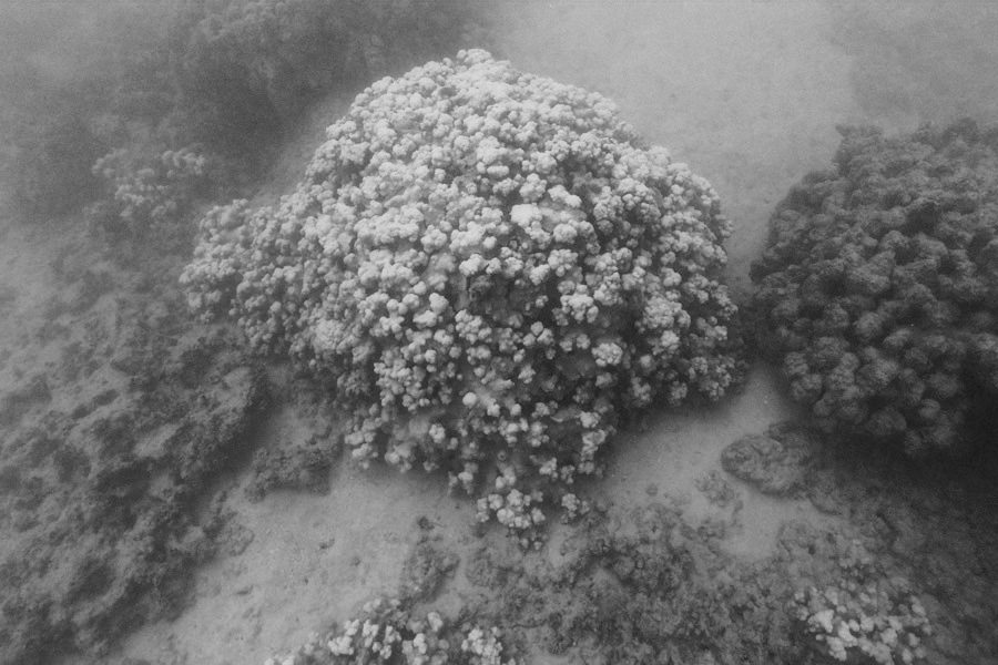 The cauliflower coral will likely die, Hunter says, but that species is a pioneer and scientists expect to see new recruits in a year or two. The rice coral is likely to show a variety of responses from full mortality to full recovery.