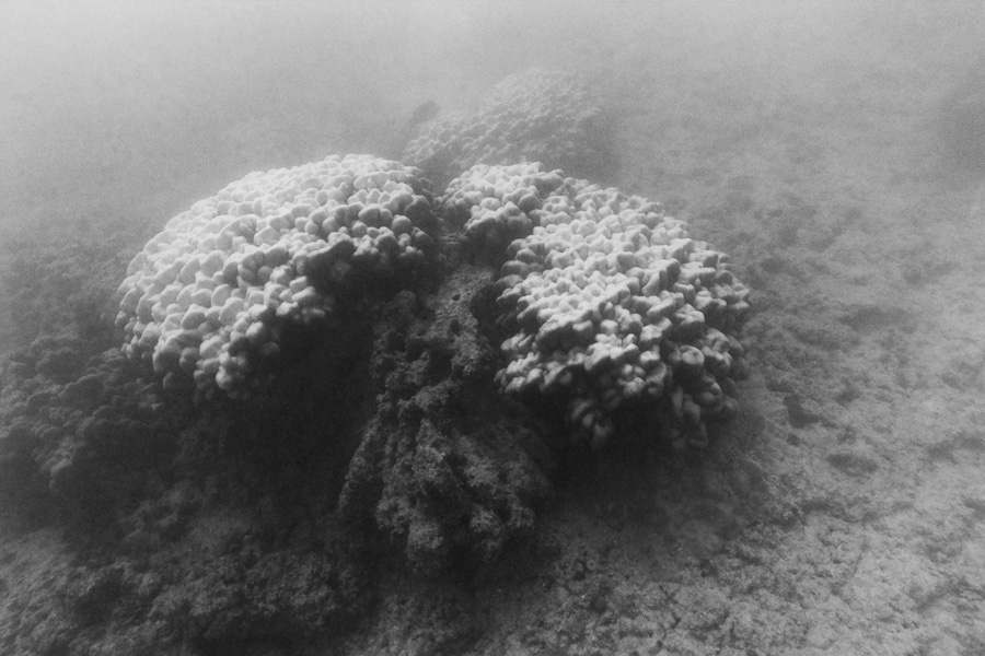 The lobe coral, like that seen here, and finger corals may recover as many did after 2014 and 2015, says Cindy Hunter, a UH marine biologist.
