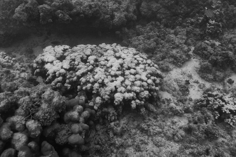Levin started spending most of his time on Oahu a year ago. He has been documenting bleached coral at Waimanalo and other sites, including this cauliflower coral.