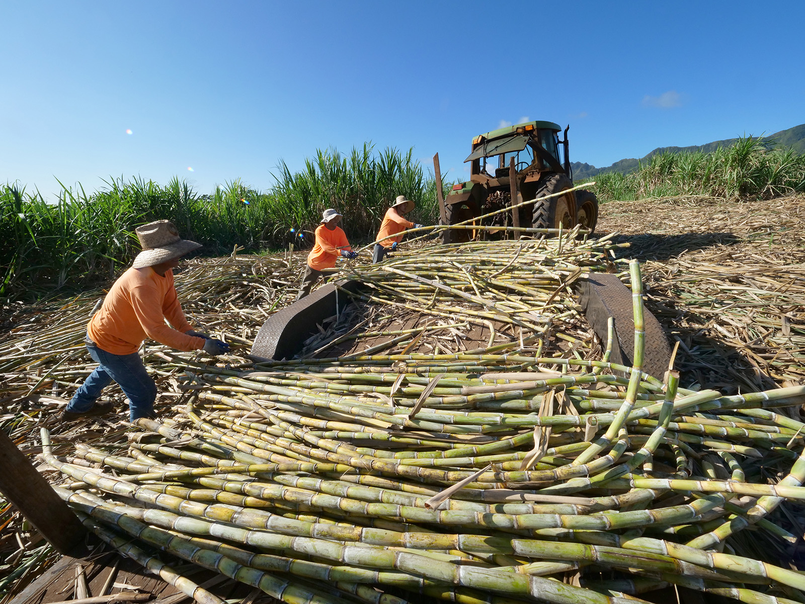 <p>Farmers load a tractor bed with freshly harvested sugar cane. Stripped leaves will be left in the field as compost, while the stalks are pressed into juice on site.</p> <p> </p>