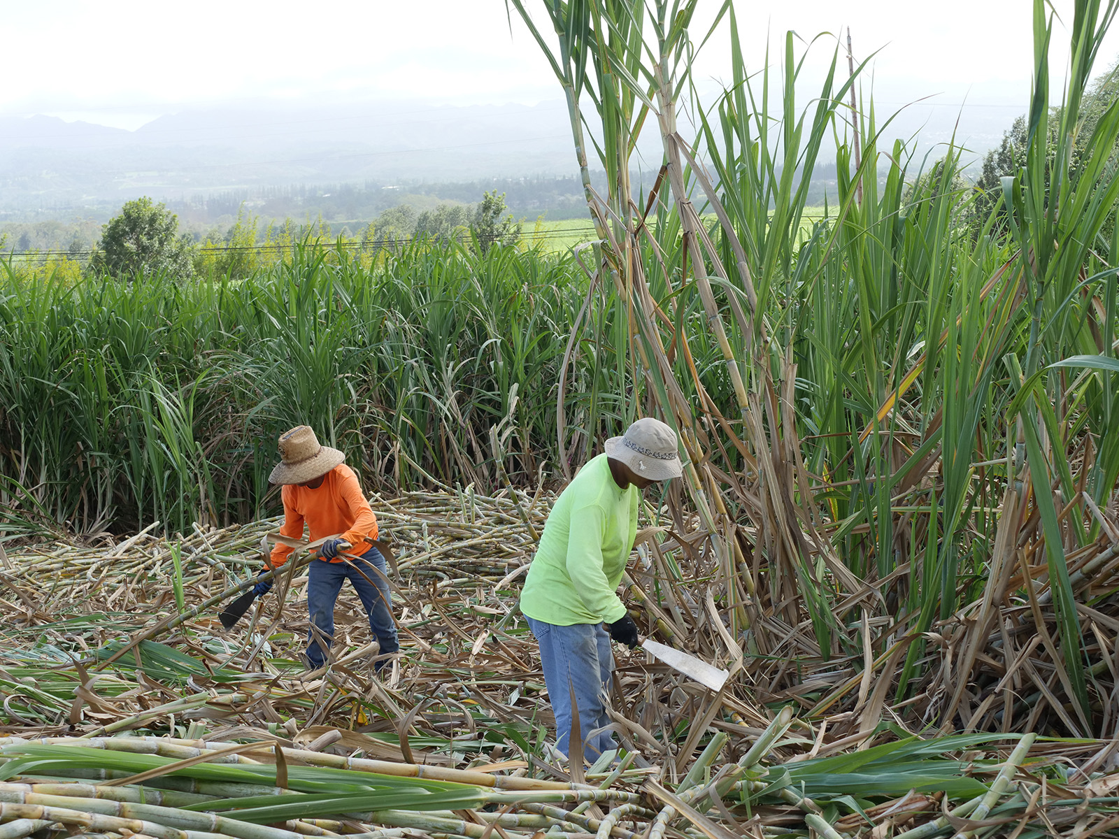 <p>Farmers harvest sugar cane by hand for the Ko Hana Hawaiian Agricole Rum Distillery. The four or five farmers employed at the distillery harvest single varieties of cane that will yield the pure sugar cane juice used to produce the distillery's rum.</p>