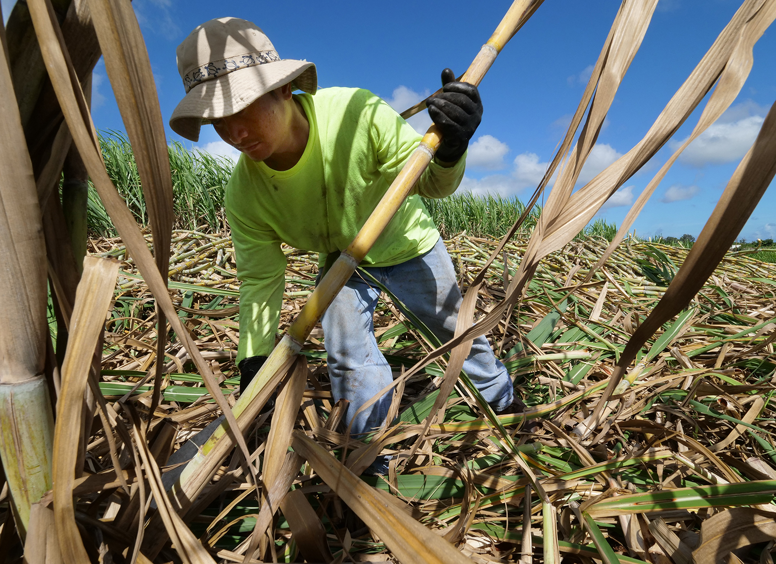 <p>A farmer cuts each stalk of year-old sugar cane by hand with a machete. The farm grows 34 different species of cane unique to Hawaii.</p>