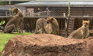 Honolulu Zoo Welcomes South African Cheetahs