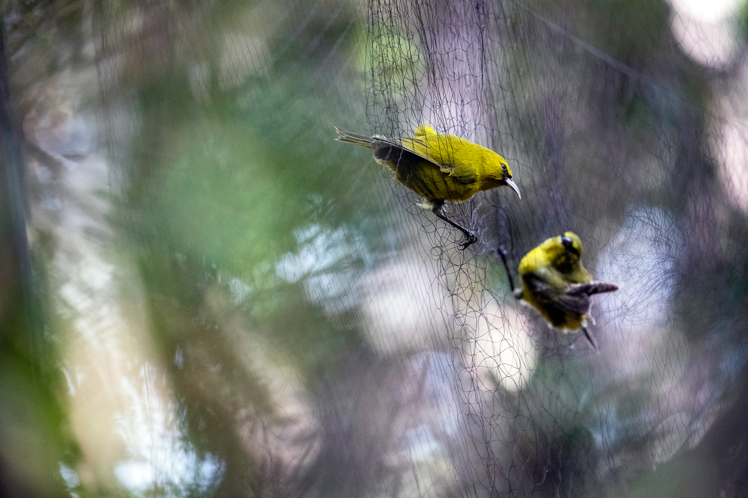 "<p><strong>Netting Birds:</strong> Biologists set up nets in a remote Maui forest to capture the endangered kiwikiu so they could set up an ""insurance population"" on the other side of Haleakala. Sometimes, they caught other Hawaii forest birds, such as amakihi, which would be released unharmed.</p>"