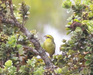 Maui Is No Longer Safe For Hawaii's Endangered Birds, Biologists Say