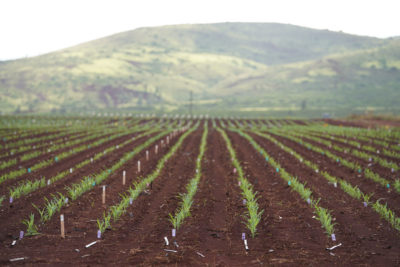 Seed Industry Is Shrinking Dramatically But It Still Grows Hawaii's No. 1 Crop