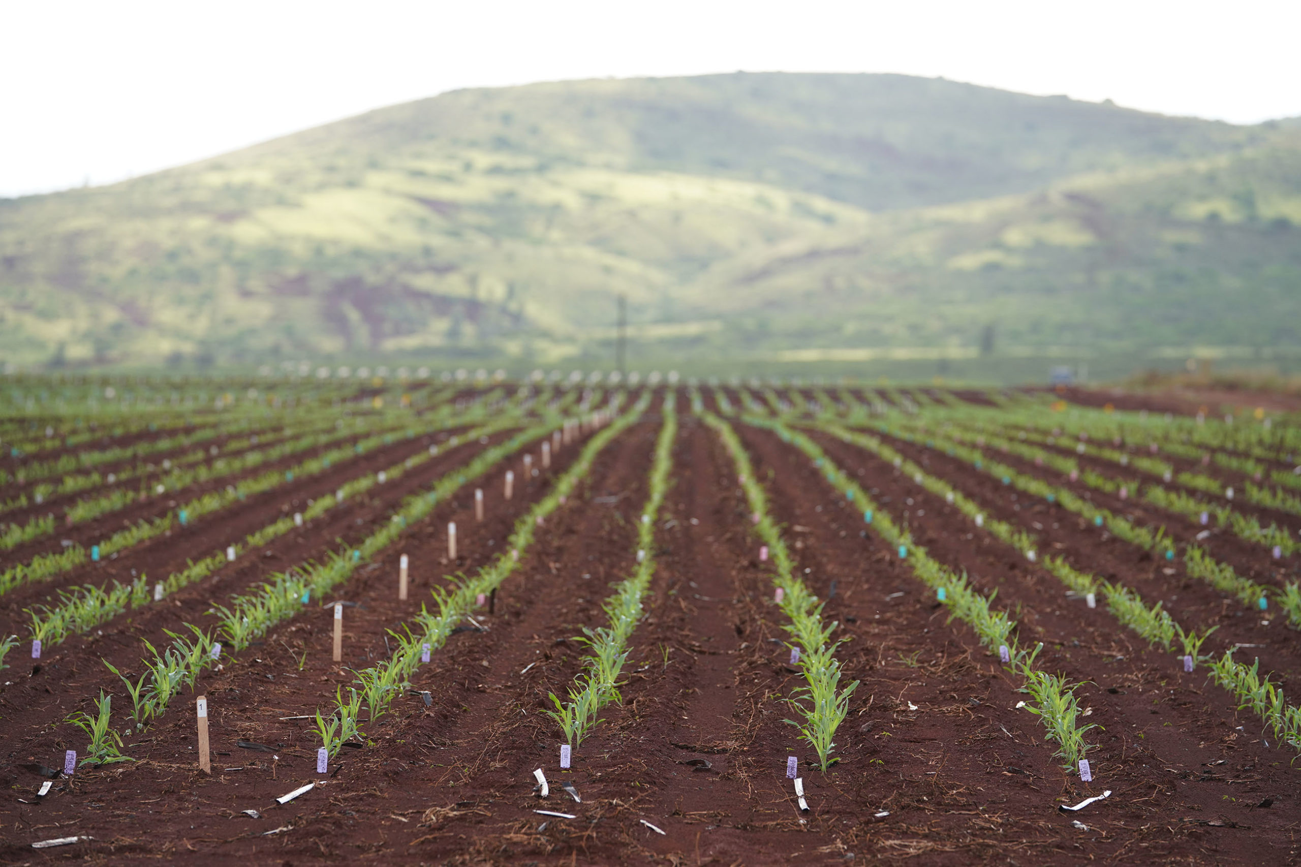 Bayer Crop Science located at 94-520 Kunia Road Kapolei. Rows of newly planted corn with Waianae Mountains in the background.