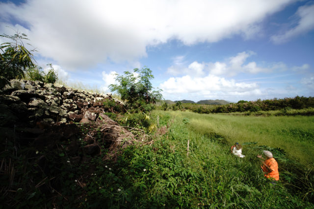 Lehuakona Isaacs walks in chest and head high overgrown grass at Pahukini Heiau located above Kapaa Refuse Transfer Station.