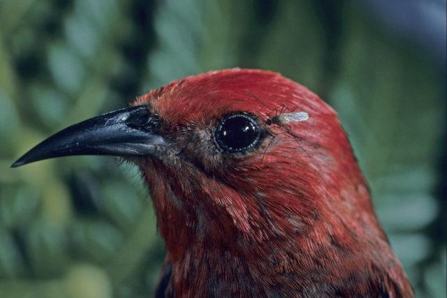apapane, mosquito, forest birds, avian malaria