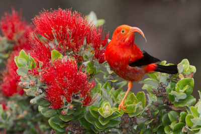 Conservation Group Pushes Feds To Set Habitat For Hawaii's Endangered Iiwi Bird