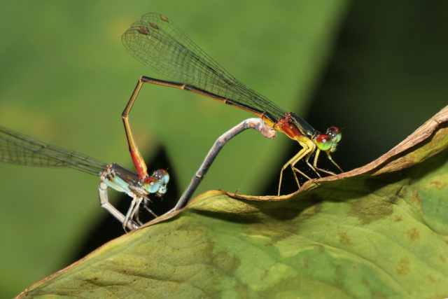 The rare Blackline damselfly is almost extinct in Hawaii