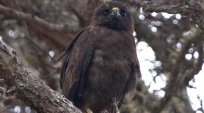 How The Endangered Hawaiian Hawk Became A Political Pawn