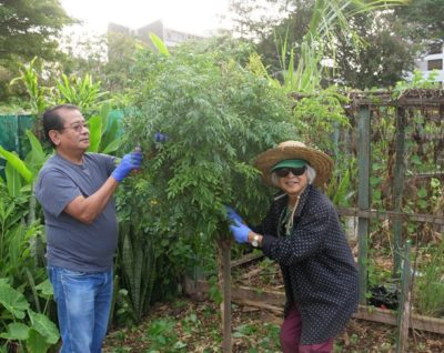 Mandhoj Rai (left) and Amy Wannamae (right) trim a tree growing in the Makiki Community Garden in Honolulu on Saturday, February 15, 2020. The two live nearby and got involved in the garden to grow their own food and connect with other people. Rai has been active in the community garden for 20 years and Wannamae for 36 years. (Civil Beat photo Ronen Zilberman