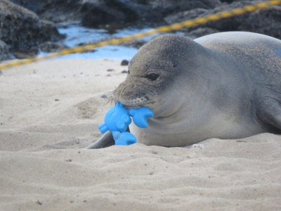 Officials Worry About Baby Monk Seal As Beaches Reopen