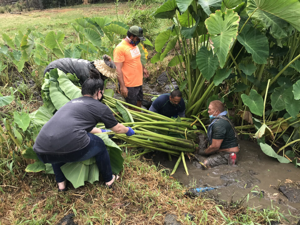 "Volunteers harvest 1-year-old taro from the Lo'i Kalo Mini Park in Kalihi. Taro advocate and land steward, Robert Silva, organizes these ""mud taropy"" sessions on the first Saturday of each month. All volunteers are welcome."