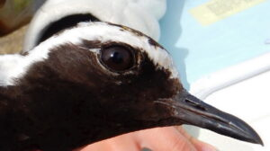 Denby Fawcett: Relieve The Pandemic Blues By Counting Pacific Plovers