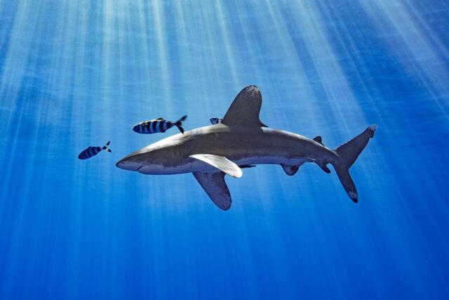 Nakachi Shark Kahu Mano