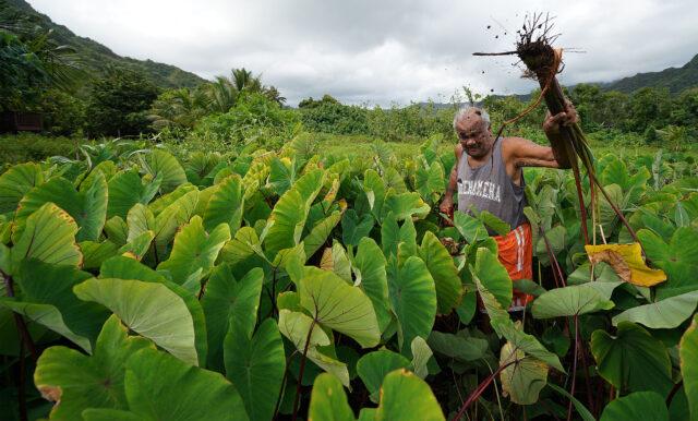James Anthony digs up dryland taro in Kahana valley.