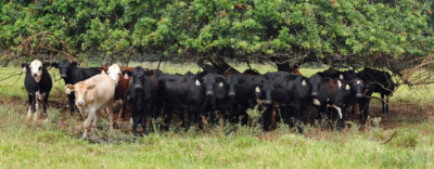 Kauai Bets Big With CARES Money To Boost Local Beef Industry