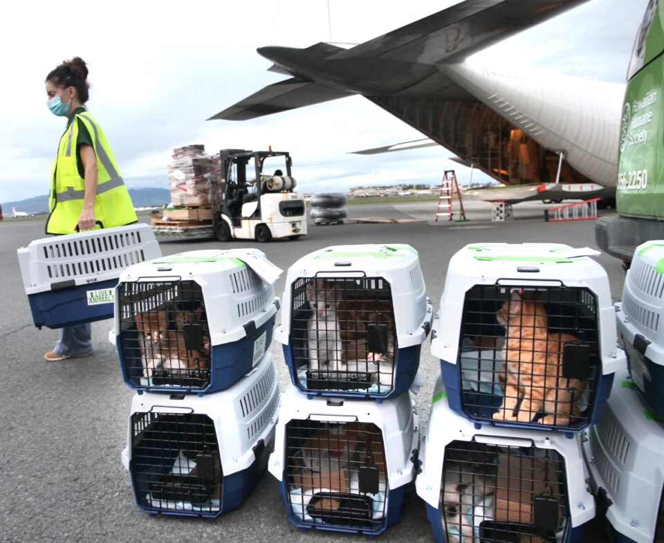 Cats from the Hawaiian Humane Society of Oahu, wait patiently to be loaded onto the waiting Hercules C-130 airplane Wednesday, October 28, 2020. Over 600 healthy and loving pets are being flown from overcrowded pet shelters on five islands across the state  to shelters in Washington state, Oregon, Idaho, and Montana where they'll be quickly adopted into new forever homes. (Ronen Zilberman photo Civil Beat)