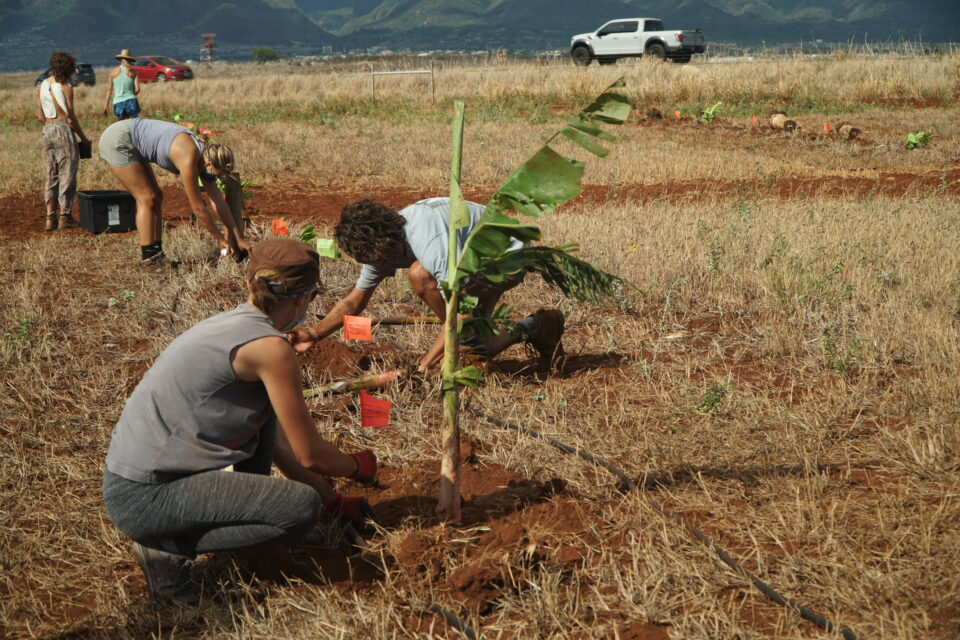 Mahi Pono planted 300 native ulu and milo along with 30 mai'a (banana trees) in recognition of the 2020 Hawaii Statewide Tree Planting Day, in partnership with ReTree Hawai'i