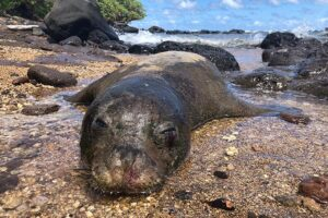 Monk Seal Killings On Kauai Highlight Human Threat To Endangered Species