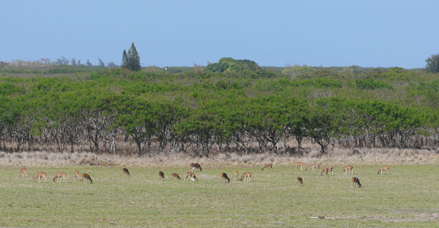 Scores of Axis Deer feed on a green field located near the Molokai Baptist Church near Hoolehua, Molokai. January 15, 2021