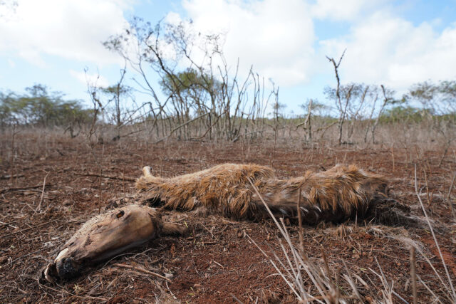 A dead Axis Deer rests in an open field along Maunaloa Highway after drought and famine is killing the animals on Molokai. January 15, 2021.