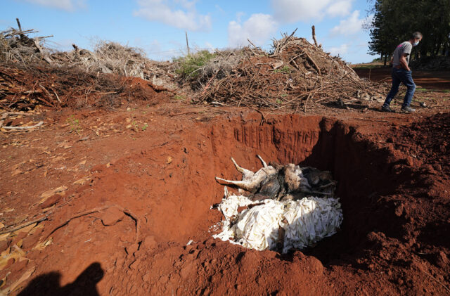 Walter Ritte walks near an open pit at Molokai Ranch where the ranch is burrying dead Axis Deer found on its property. January 15, 2021