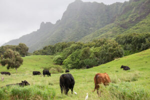 Beefing Over Control Of Hawaii's Meat Processing Industry
