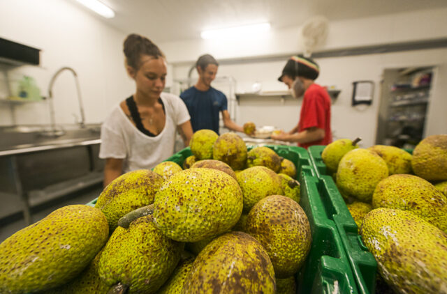 2018 August 29 CRV - Photo by Ronit Fahl/Special to the HSA. Employees cut up ulu at the Hawaii Ulu Producers Cooperative on August 29, 2018 in Honalo, HI.