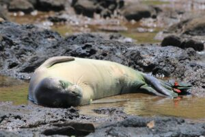 Monk Seals Found Dead In Kauai Likely Drowned In Fishing Nets