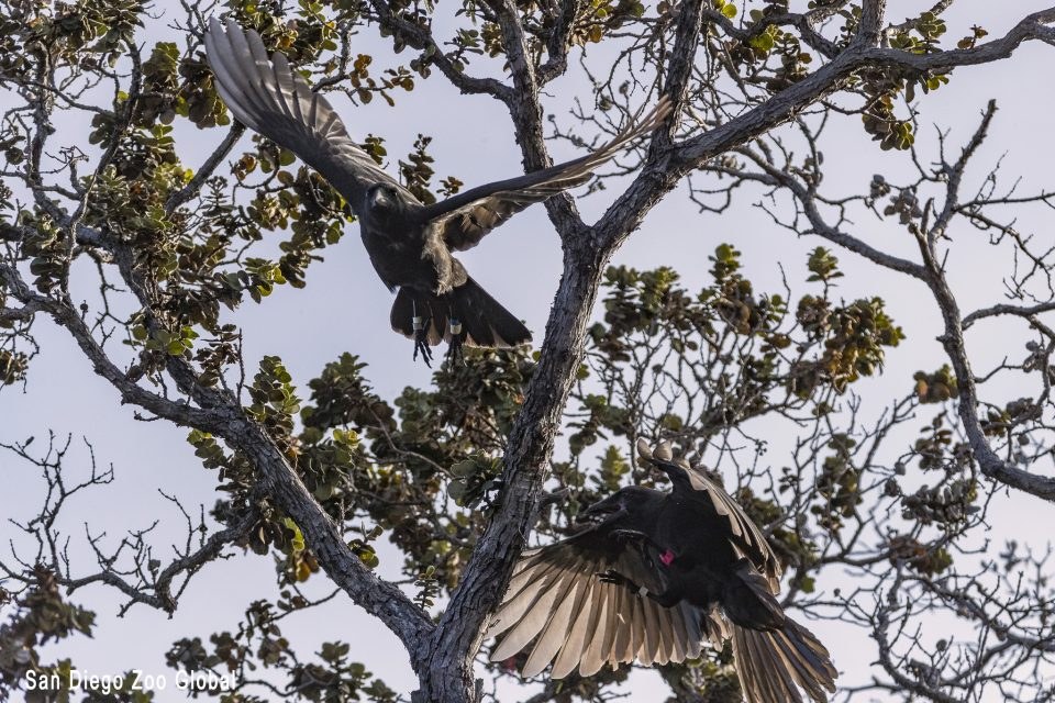 How Scientists Are Pivoting In Their Quest To Save Hawaii's Crows
