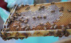 PODCAST: Hawaii's Complicated Relationship With European Honey Bees