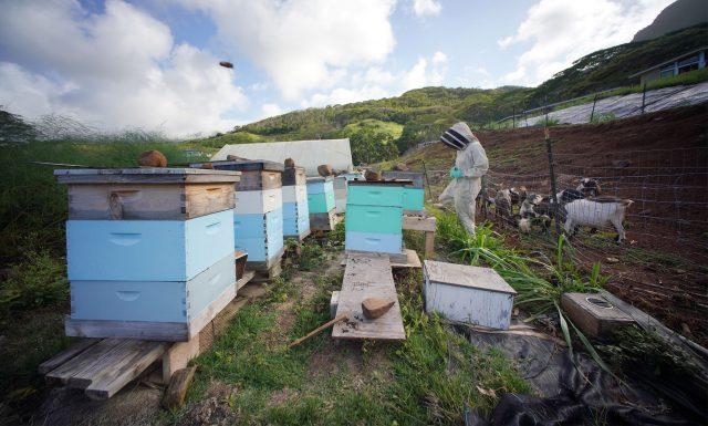 Bee keeper Kim Falinski tends her beehives near Olomana.