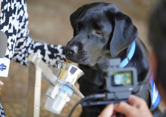 Tess a 3-year-old Black Labrador has been trained to smell positive COVID-19 swab which needs to be rubbed on the patients neck. Tess was being shared by Queens Medical Center.