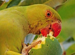 An Explosion Of Green Parakeets Is Causing Big Problems On Kauai