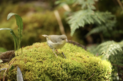 Scientists Are Running Out Of Time To Save This Critically Endangered Kauai Bird