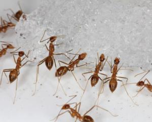 Scientists Eradicate Seabird-Killing Ants at Johnston Atoll