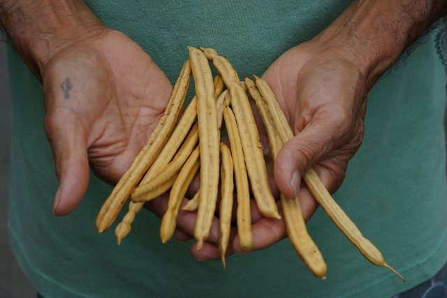 Vince Dodge holds Kiawe tree seed pods. Kiawe is a variant of Mesquite.