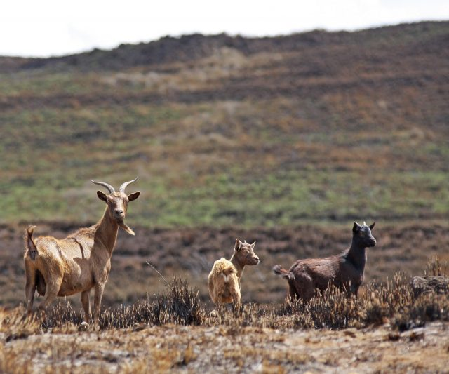 Wild goats forage for vegetation at a pasture scorched by the July 31th brush fire next to Waikoloa Villiage. Photo: Tim Wright