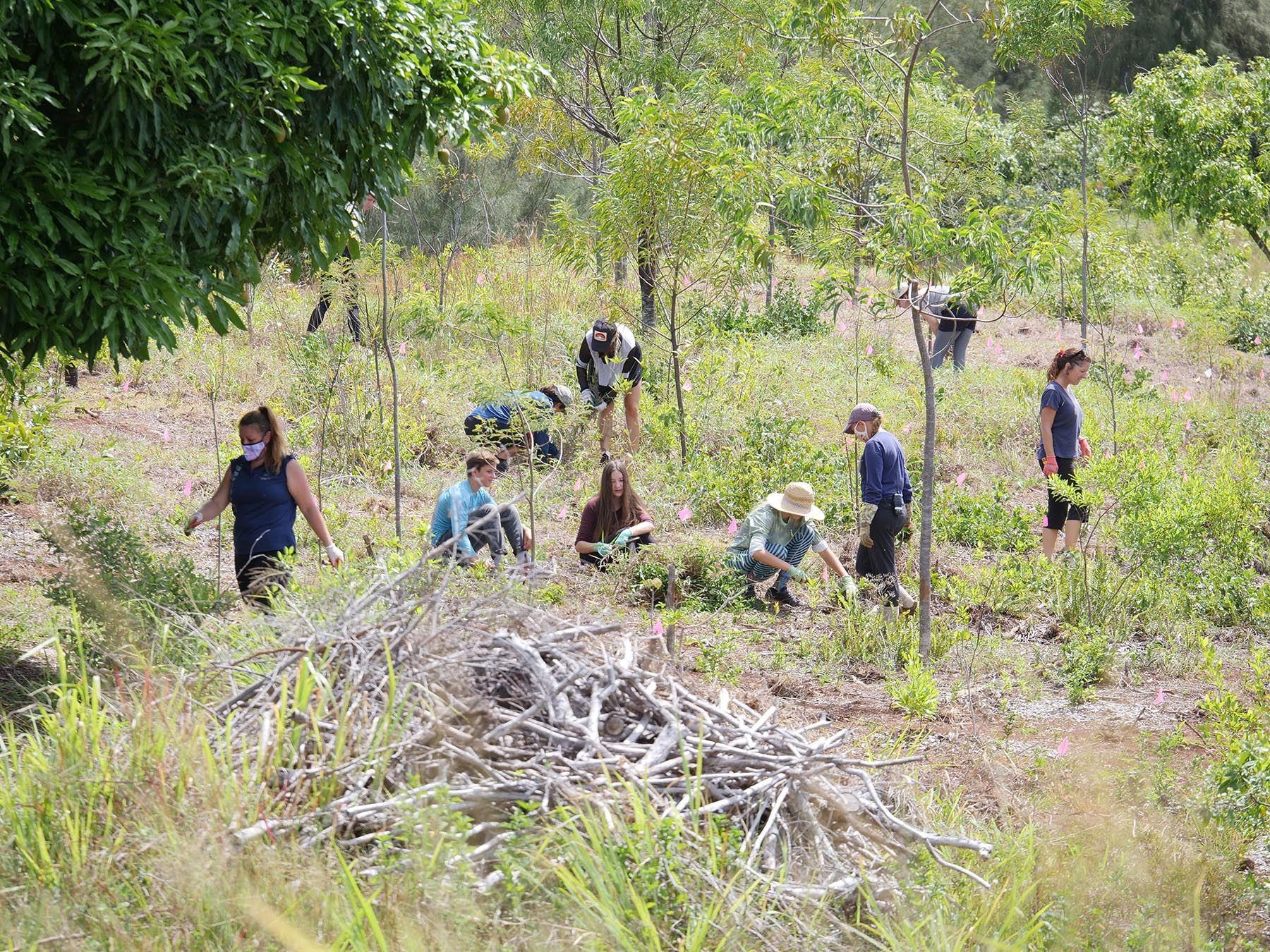<p>The invasive plants have grown up around koa trees planted on a previous workday.</p>