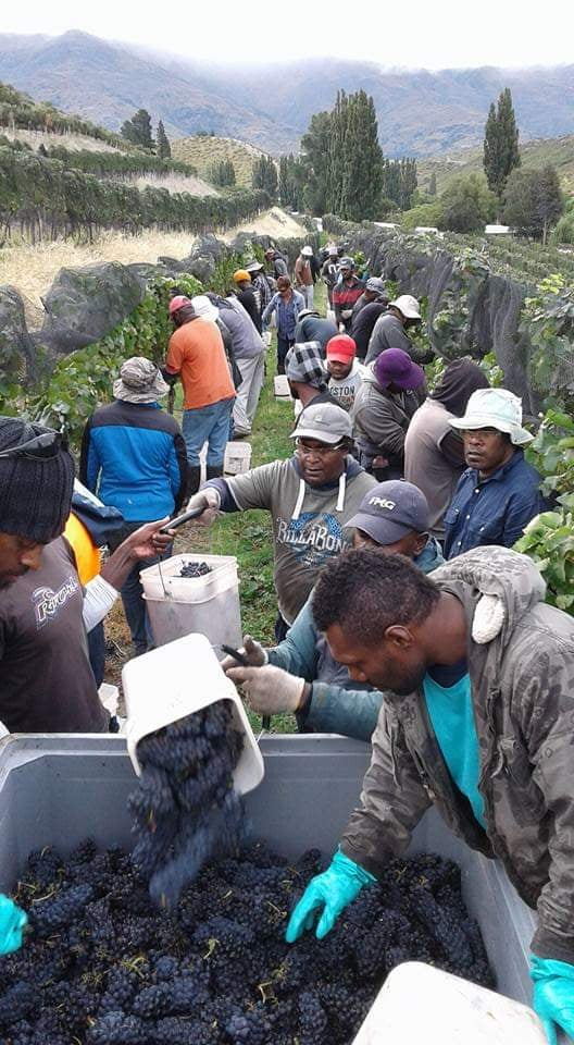 Ni-Vanuatu seasonal workers have benefited from New Zealand's RSE program, though many are still stuck in the country.
