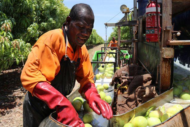 A seasonal worker sorts fruit in Australia
