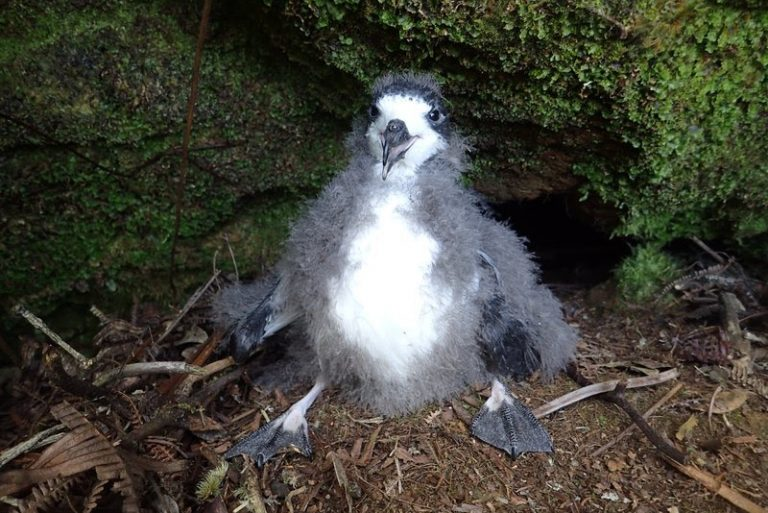Conservationists Threaten To Sue Maui Resort Over Injured Seabirds