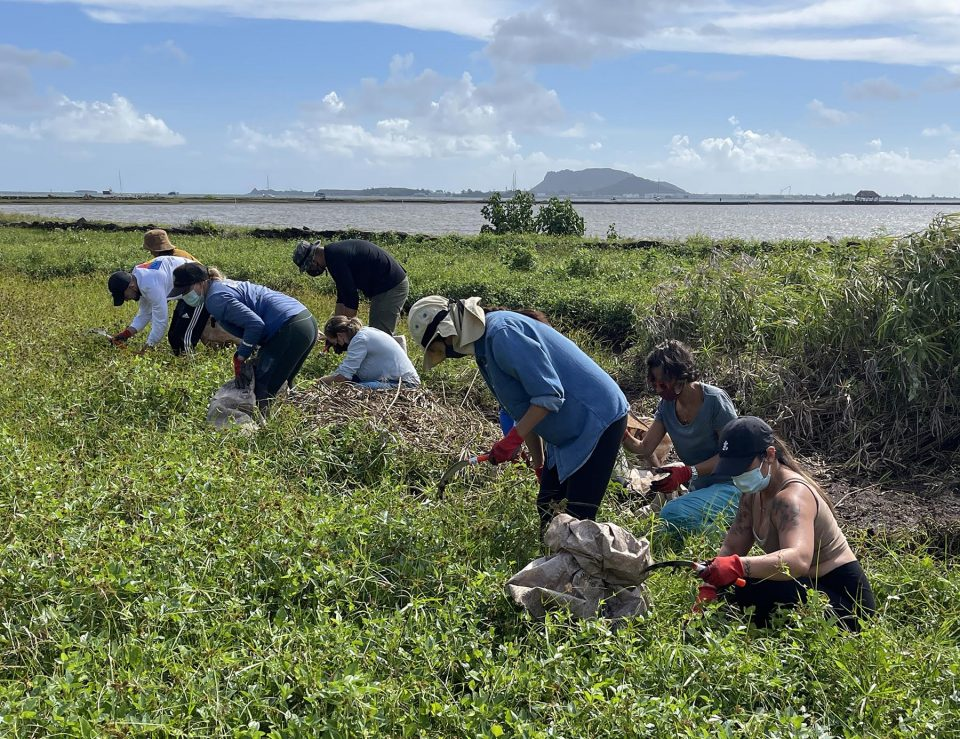 Volunteers with Hui o Ko'olaupoko weed out invasive plants, in Kaneohe, Saturday, September 18, 2021.Since 2015 the Hui o Ko'olaupokoto has been working on the He'eia Estuary Restoration Project, aimed at improving water quality and increasing habitat for native aquatic animals by removing invasive plants and replanting native Hawaiian species.  (Ronen Zilberman photo Civil Beat)