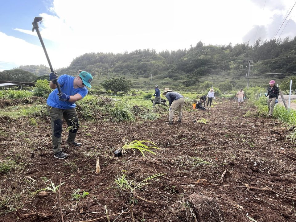 Community volunteers dig out the roots of invasive weekds in an ongoing effort organized by the North Shore Community Land Trust to restore Hawaiian agriculture and native ecosystems to the area of Waiale'e on the North Shore of Oahu, Saturday, September 25, 2021. Once the ground is cleared sufficiently the group will plant hala, a plant that was once prevelant in the area and important to Hawaiians for weaving.  (Ronen Zilberman photo Civil Beat)