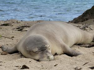 Who Is Killing The Monk Seals On Molokai?