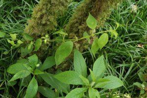 Critically Endangered Fern Rediscovered On Kauai